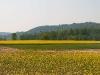 campi-di-colza