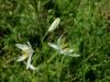 18 Anthericum liliago