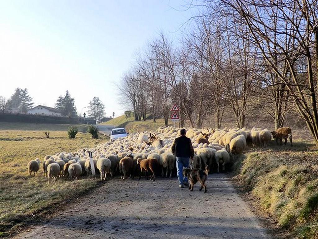 pecore_web
