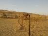 Allevamento cammelli a Mezaira